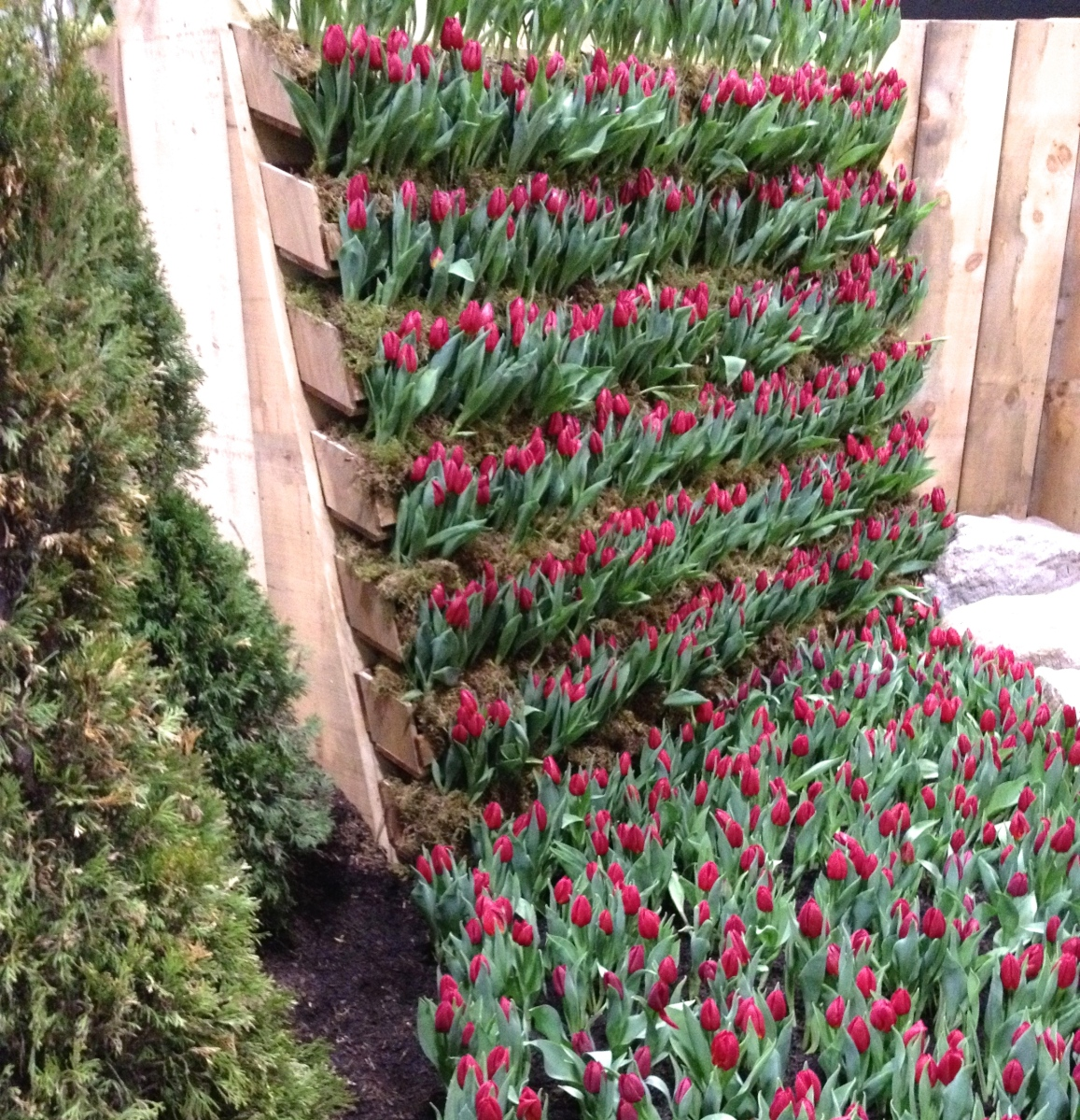Tulips in a flower bed and on a wall.