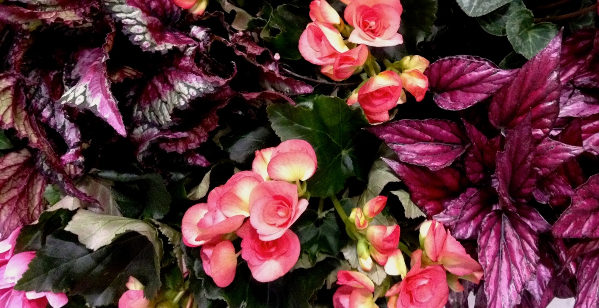 Coleus and begonias for shade gardens