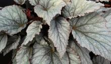 Silver leaf Rex Begonia