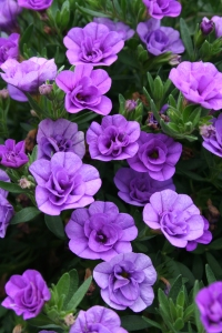 Lavender Calibrachoa for container