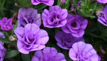 Lavender Calibrachoa for container