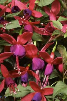 Purple fuchsias for hummingbirds