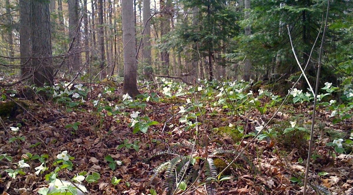 Trilliums in their native habitat.