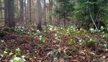 Trilliums in their native habitat.
