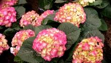 Hydrangea sample for gardening.