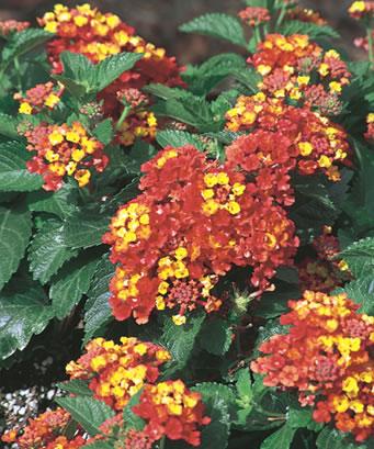 Close-up of Lantana for hummingbirds