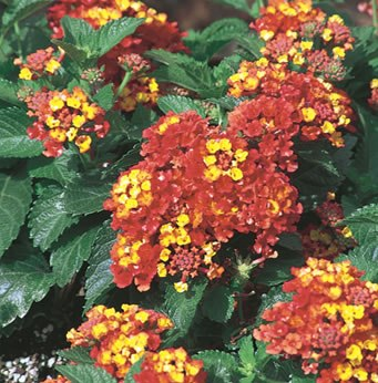 Close-up of Lantana for hummingbirds