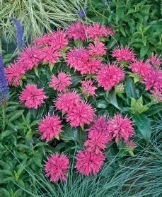 Pink Bee Balm for hummingbirds