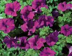 Purple petunias for hummingbirds