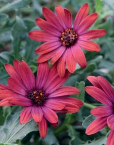 African Daisy for a container