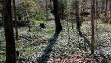Periwinkle in woods