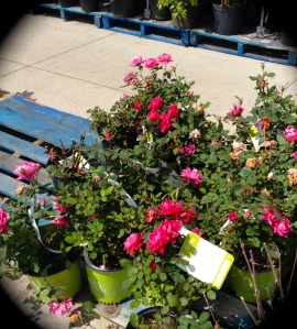 Roses at a store