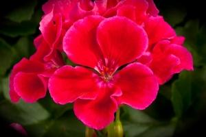 Geranium Calliope