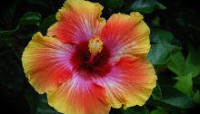Hibiscus Fiesta flower