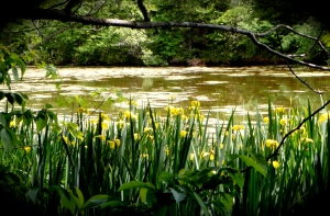 Pond and irises