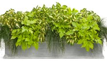 Container planting for shade