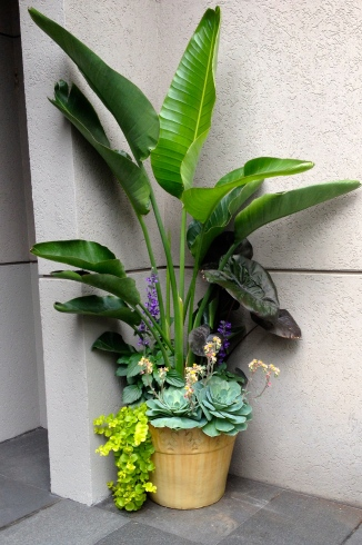Elephant Ear, succulents and Creeping Jenny