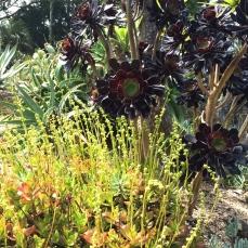 Succulents and sedums