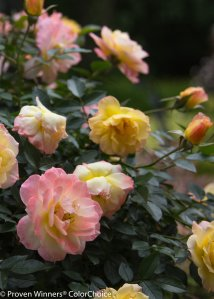 Reblooming rose