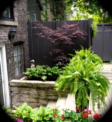 Black fence with maple tree