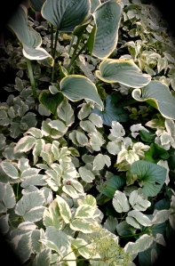 Goutweed and hostas