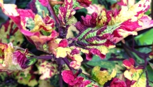 Coleus for sunset containers