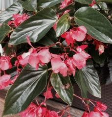 Dragon wing begonias don't mind the heat and can part to full shade. Their glossy leaves will light up a