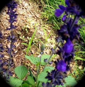 Indicator weeds, invasive weeds