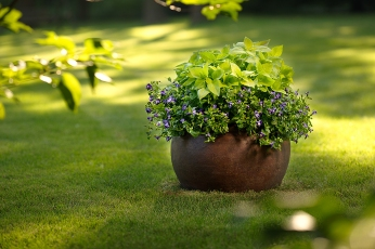 Catalina® Midnight Blue Torenia surrounds bright green ColorBlaze® LifeLime coleus, both heat and shade tolerant plants that will perform well until frost. Photo courtesy of Proven Winners.