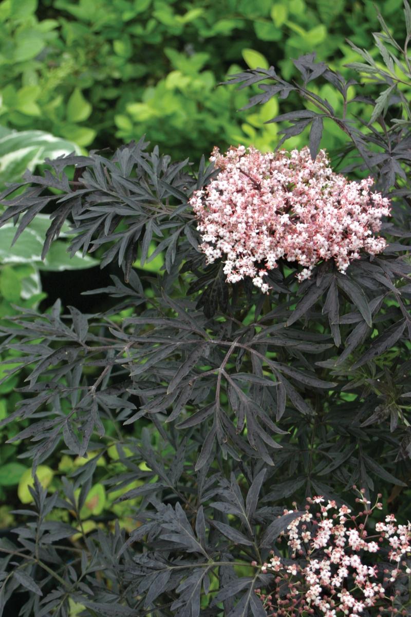Elderberry leaves and blooms