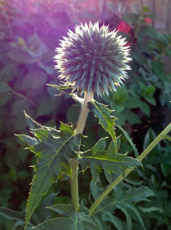 Globe thistle before blooms