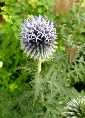 Partially blooming globe thistle
