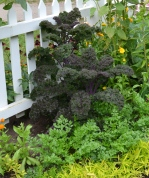 Kale as ornamental.