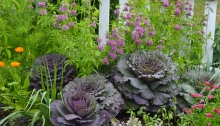 Cabbage in flower bed