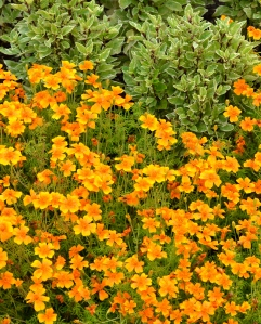 Basil and marigolds