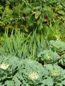 Cabbage in garden