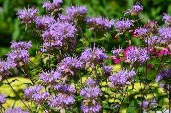 Purple Monarda