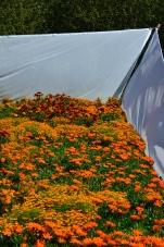 Orange flowers at Reford Gardens