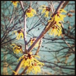 Witch hazel blooms