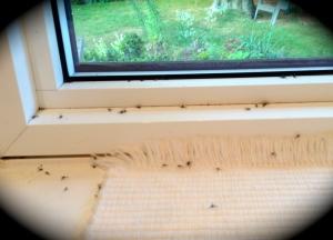 Flies on windowsill