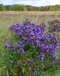 A New England Aster–outstanding in its field. [Couldn't resist.]