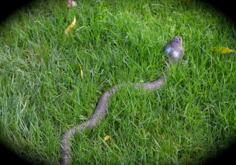 Fake cobra in grass