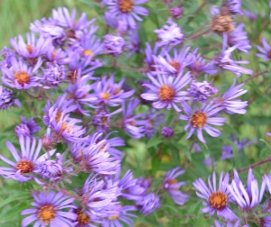 New England Aster blooms