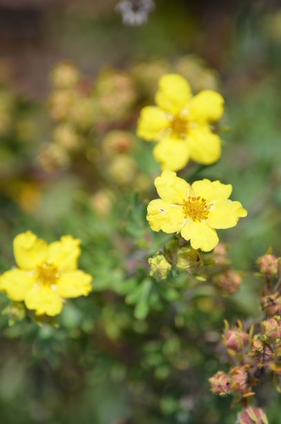 Cinquefoil native to Ontario