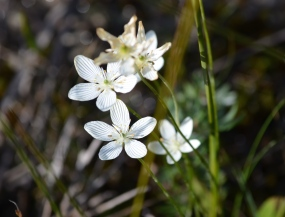 Grass of Parnassus wildflower