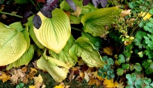 Hostas in fall