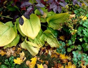 Hostas in fall