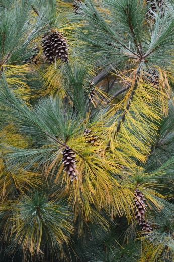 Evergreens turning gold