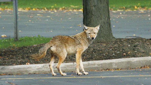 Another suburban coyote.