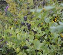 Baptisia seedpods